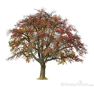 Isolated apple tree in autumn