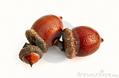 Isolated autumn acorns on white