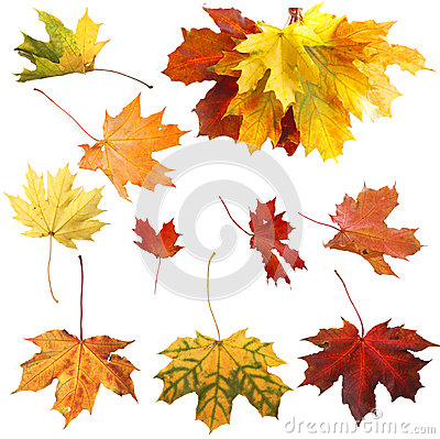 Isolated autumn maple leaves