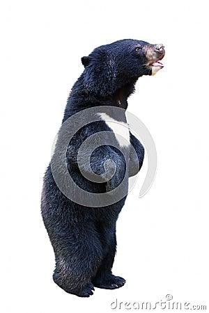 Isolated baby black bear