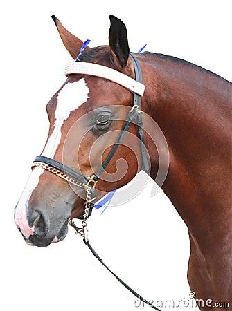 Isolated Bay Horse head