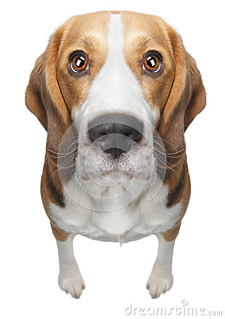Free Isolated Beagle Dog Royalty Free Stock Images - 37703869
