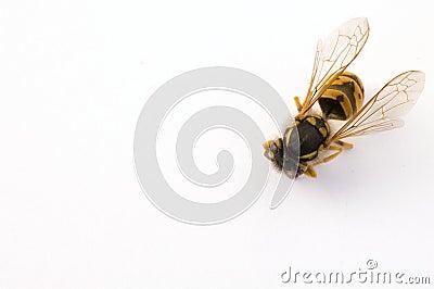 Isolated bee