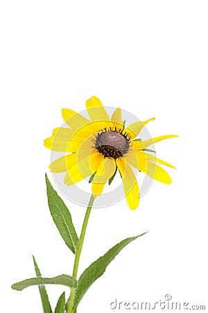 Isolated black eyed susan flower