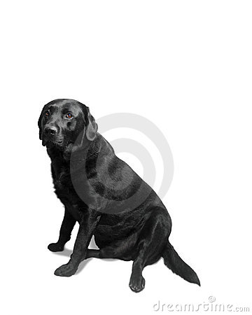Free Isolated Black Lab Royalty Free Stock Photo - 780375