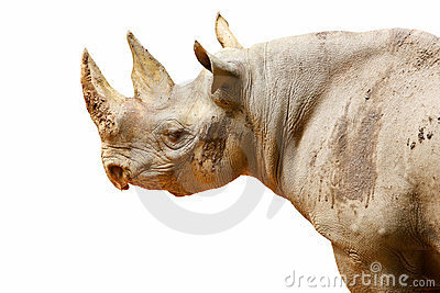 Isolated black rhinoceros