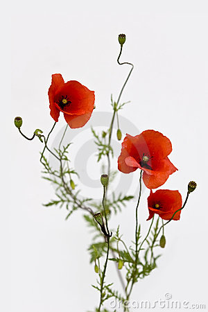 Isolated bouquet of red poppies