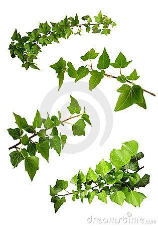 Isolated branches of ivy