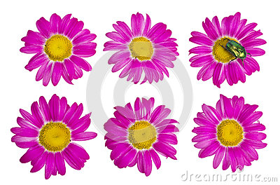 Isolated buds and flowers of the pink daisies
