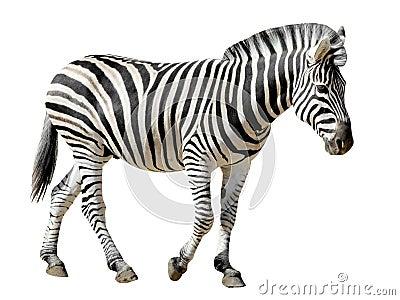 Isolated Burchell Zebra