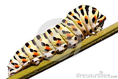 Isolated caterpillar of swallowtail