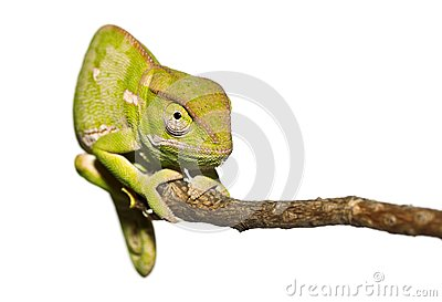 Isolated Chameleon staring
