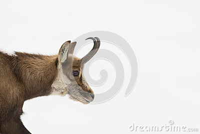 An isolated chamois deer