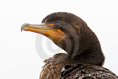 Isolated Close-up Double Crested Cormorant