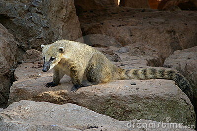 Isolated coati, bear species