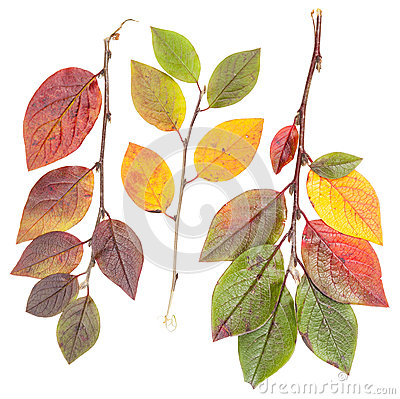 Isolated colorful autumn tree leaves