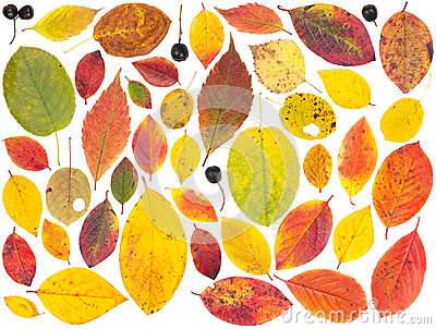 Isolated colorful autumn tree leaves and berries