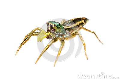 Isolated cosmophasis umbratica jumping spider