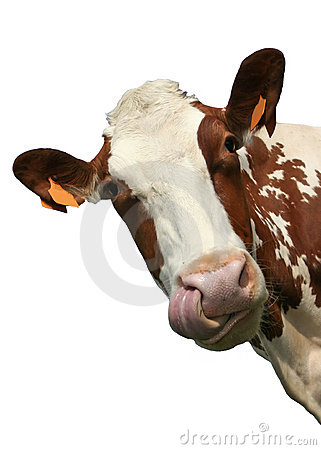 Free Isolated Cow Portrait Stock Image - 2344521