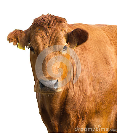 Free Isolated Cow Portrait Royalty Free Stock Photo - 25378135