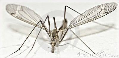 Isolated Crane Fly very close