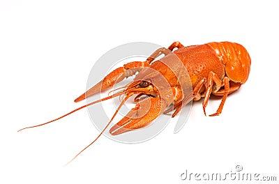 Isolated crayfish on white background