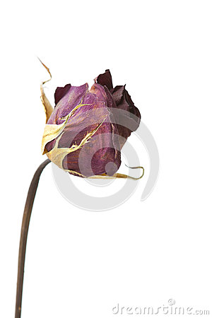 Isolated Dead Rose