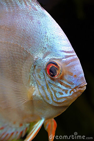 Isolated Discus Fish Head Portrait