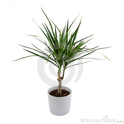 Isolated Dracena Royalty Free Stock Photography - Image: 15981807
