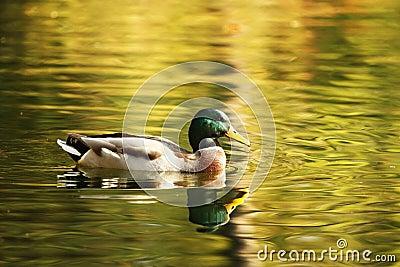 Isolated duck enjoying autumn