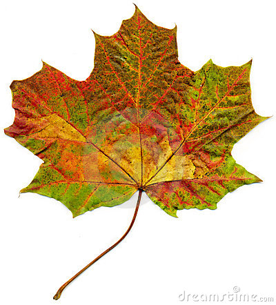 Isolated fall maple leaf.