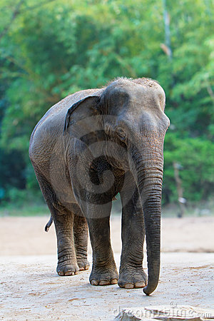 Isolated female asian elephant walking