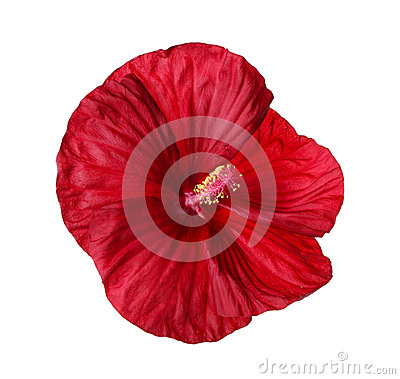 Free Isolated Flower Of A Deep Red Hibiscus Royalty Free Stock Photography - 34025167