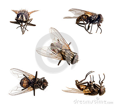 Free Isolated Fly Stock Photo - 30563580