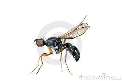 Isolated fly: Sepsidae