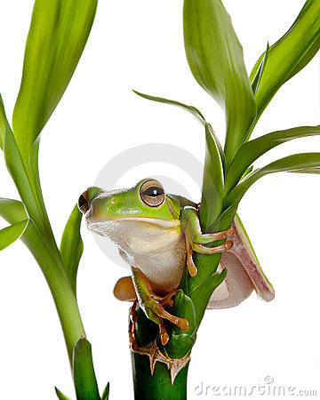Isolated frog on bamboo