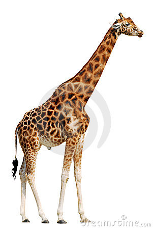 Free Isolated Giraffe Royalty Free Stock Images - 2256989