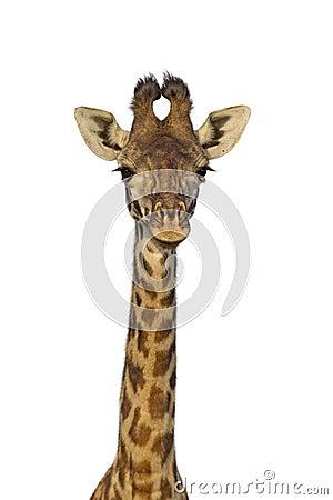Free Isolated Giraffe Royalty Free Stock Photo - 36478145