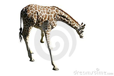 Isolated giraffe