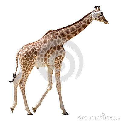 Isolated giraffe walking
