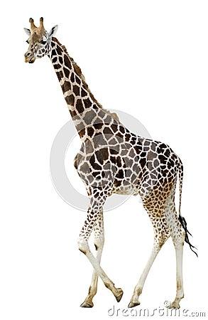 Free Isolated Giraffe Walking Stock Photos - 7165693