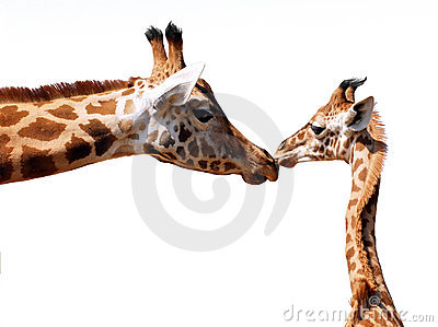 Isolated giraffe and young
