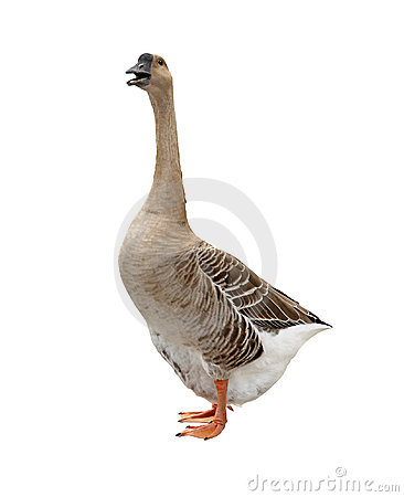Free Isolated Goose Stock Photography - 11776242