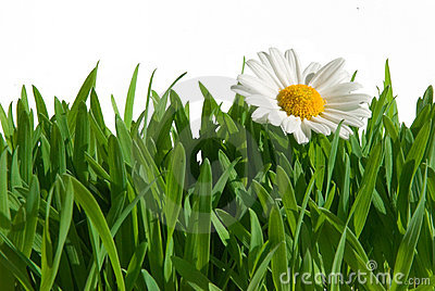 Isolated grass with daisy