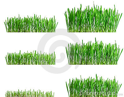 Isolated green grass growing different phases