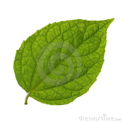 Free Isolated Green Leaf Stock Images - 2793344