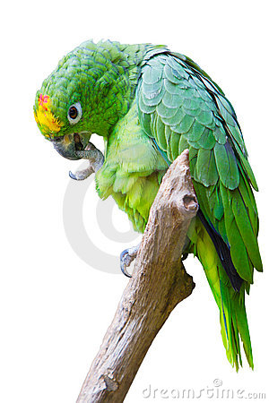 Isolated green parrot