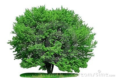 Isolated green tree