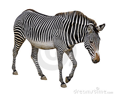 Isolated Grevy zebra