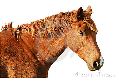 Isolated head horse